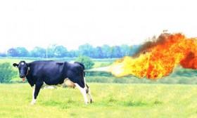 vache-pet-feu